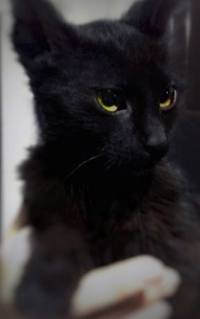Найден котёнок, похож на мейн куна.