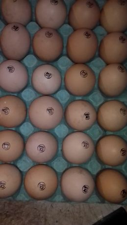 Инкубационное яйцо бройллер и леггорн