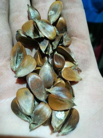 Bukiew nasiona buka buczyna 2.40kg