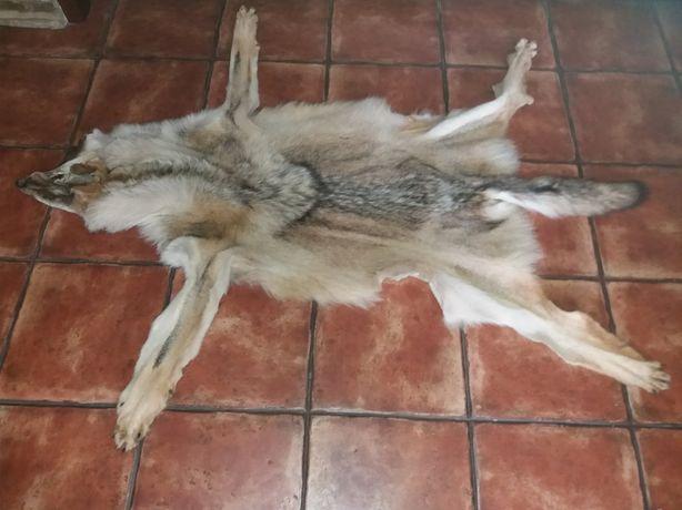 Шкура волка с мордой и когтями