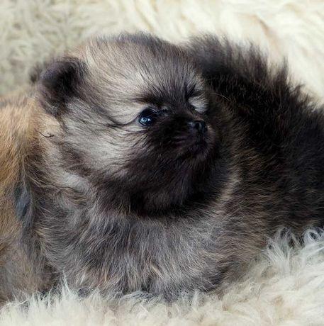 Pomeranian Szpic Miniaturowy Piękne Już Do Odbioru