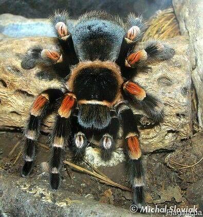 brachypelma smithi брахипельма смита брахильский красноколенный паук