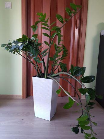 Kwiat Zamiokulkas