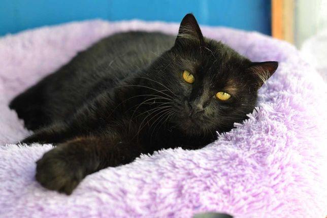 чорношуба пишнопуза красуня кішка 3р