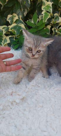 Ultimo Gato   scottish