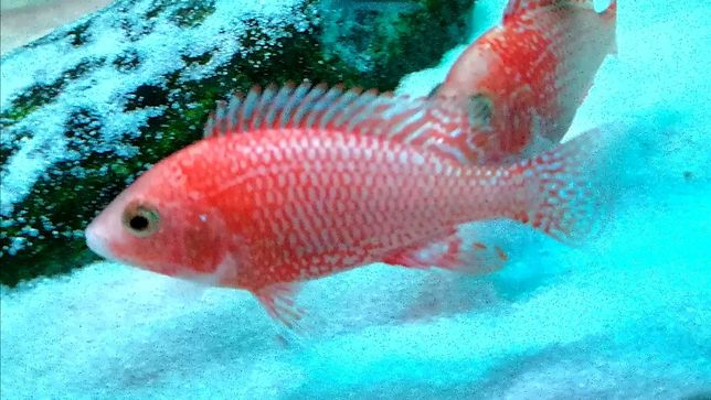 Pyszczak Aulonocara Fire Fish