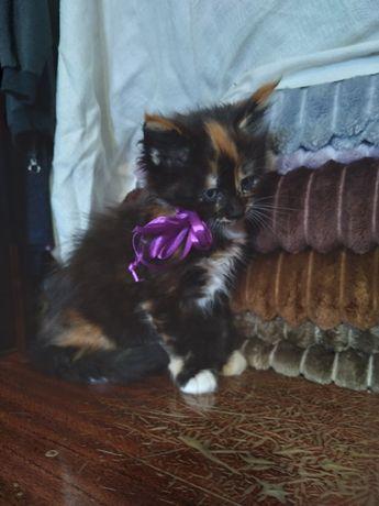 Мейн кунята котята от своей Пары