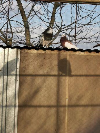 Gołębie ozdobne sprzedam