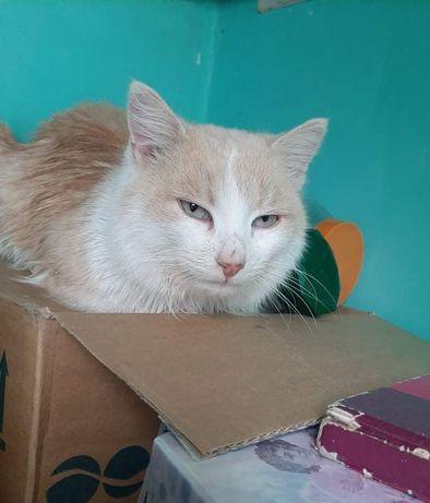 Отдам персикового кота ,9 месяцев