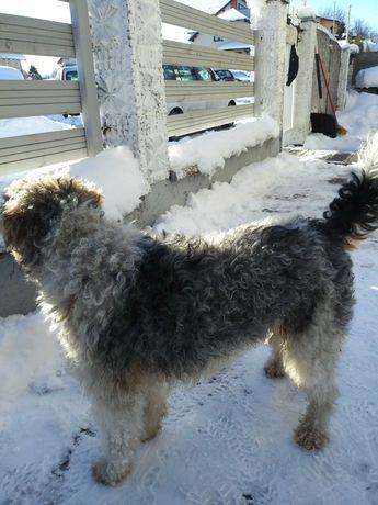 Znaleziony w Żukowie pies w typie foxteriera