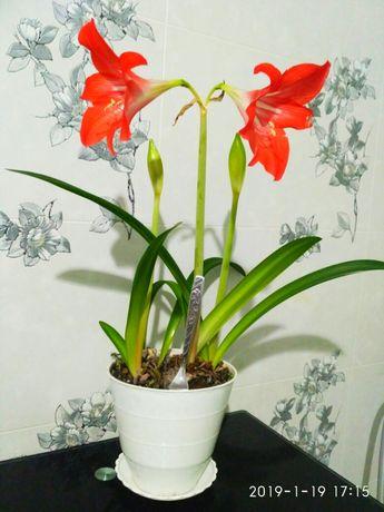 Комнатные цветы Красная лилия Каланхое, Пеперомия