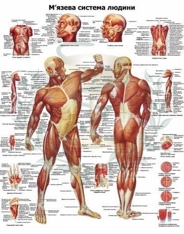 Продаються анатомічні плакати по м'язевій та ін.системах людини