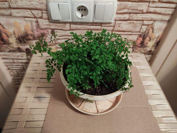 Адиантум, венерин волос. Комнатные растения. Цветы.