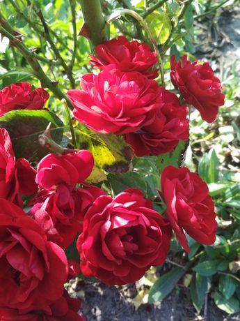 Витка троянда червоного кольору