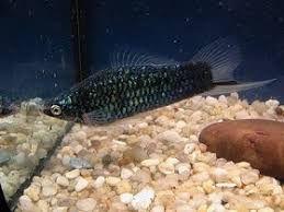 Mieczyk czarny - ryba akwariowa