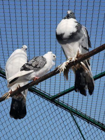 Garłacze gołębie