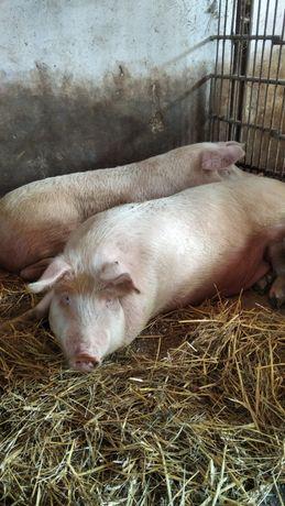 свиня кабанчик мясного напрямку кормлена без добавок