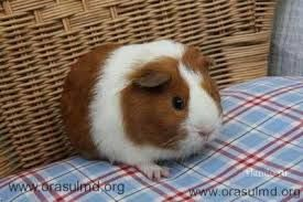 Счастливые мини заморские свинки в продаже с комплектациями