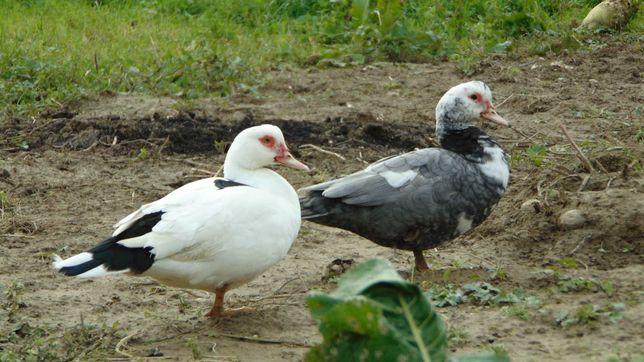 Kaczki i kaczory francuskie