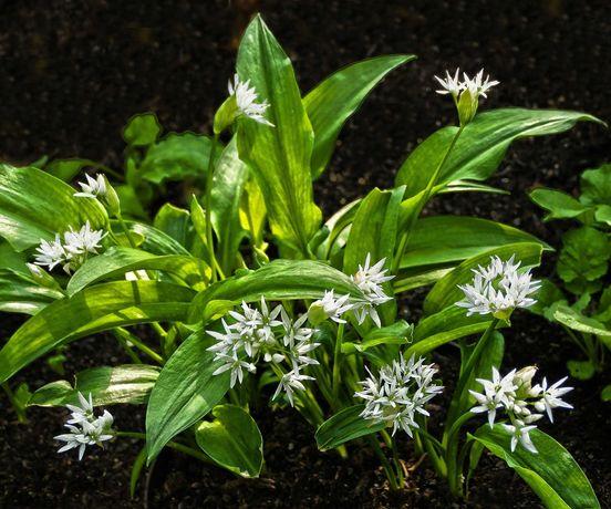 Czosnek niedźwiedzi, trawy ozdobne, kwiaty, zioła i sadzonki roślin