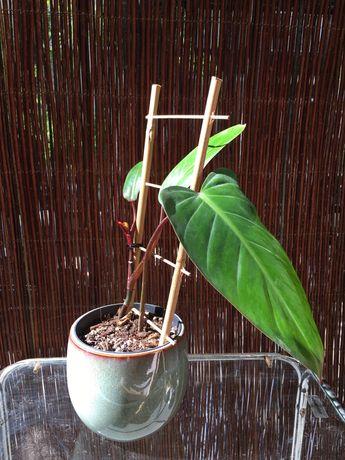 Sprzedam roślinę sadzonkę filodendron philodendron painted lady