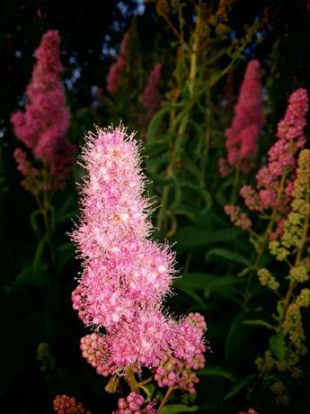 Белая и розовая Спиреи Billarda