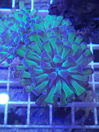 Euphyllia paraancora akwarium morskie