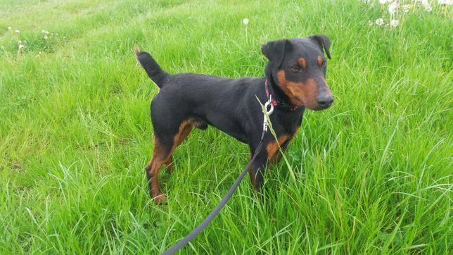 Znaleziony pies w typie jagdteriera