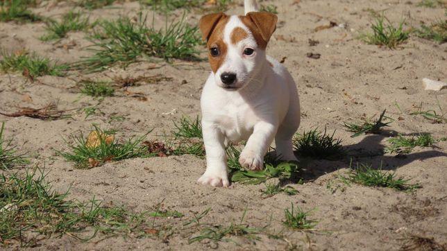 Jack Russell terrier/BREFIO- piękna suczka - rezerwacja