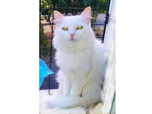 Белочка - нежная, хрупкая, чисто белая пушистая молодая кошка-ангора