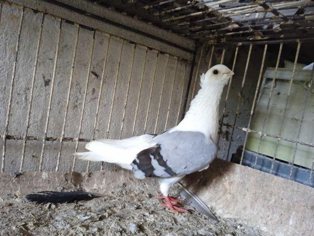 Gołębie ozdobne mewek siwy samiec