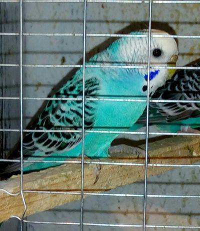 Папуги хвилясті молоді є ручні.