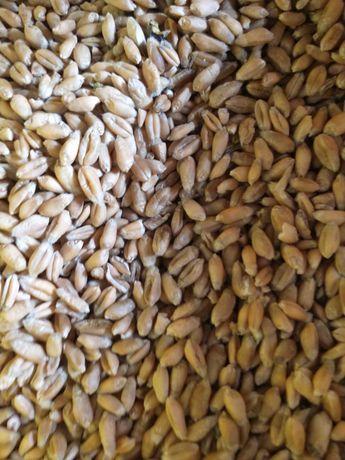 Pszenica jara paszowa lub zamienię na kukurymydzę i kury ozdobne