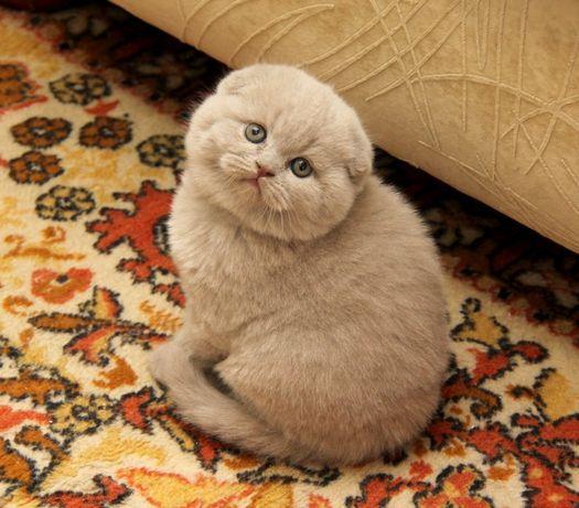 Лиловые скоттиш фолд котята