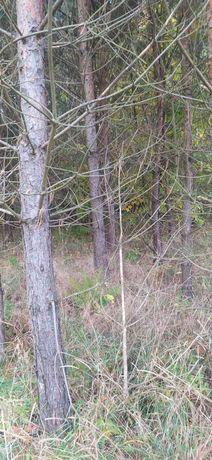 Drzewo Drewno za darmo