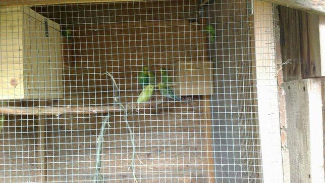 Papugi faliste OKAZJA