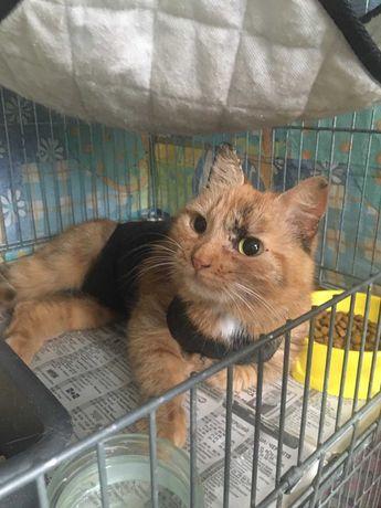 Рыжая стерильная кошка - черепаховый окрас!