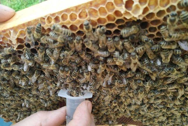 Пчеломатка, Відправлю Формує сильні сім'ї вивід 2021р. Продуктивная.