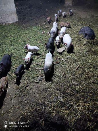 Продам вьетнамскі  свині,