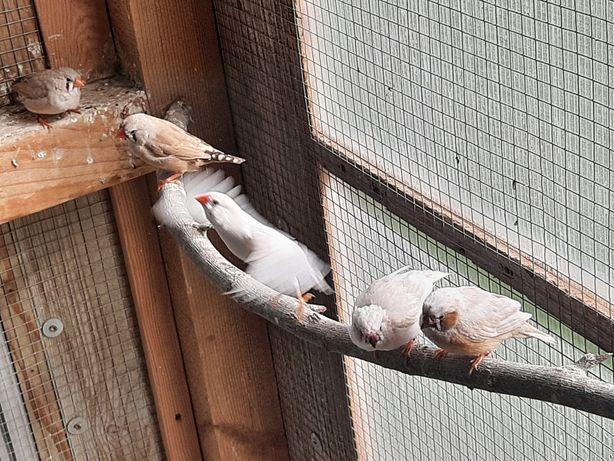 Ptaki zeberki z woliery zewnetrznej