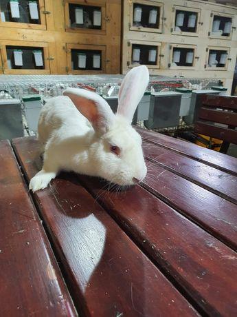 Sprzedam króliki termondzkie