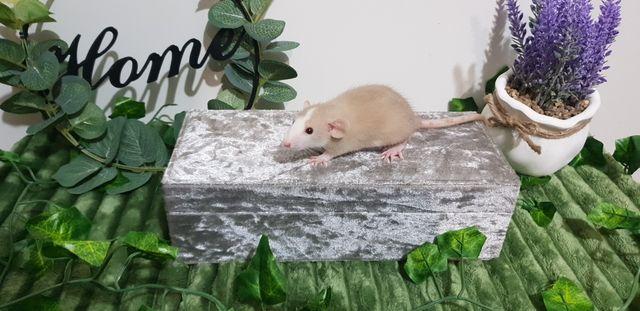Szczury szczurki wiele kolorów sierść fuzz rex standard