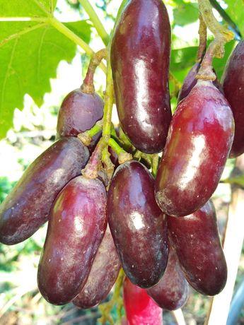 Оптом и в розницу саженцы та черенки винограда.