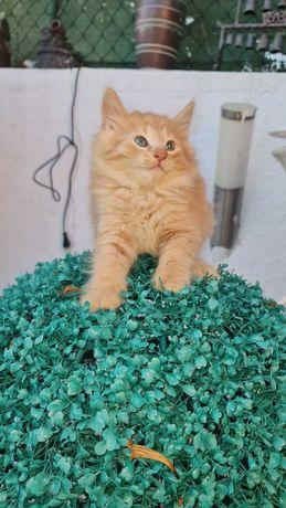 Vende-se gatinho Bosque da Noruega