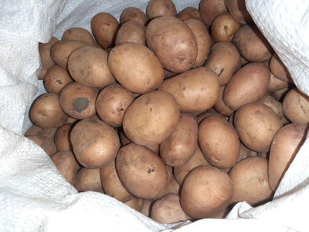 Картошка Белоснежка на еду и посадку