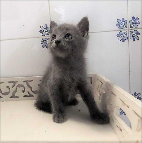 Alegria em casa, linda gatinha cinzenta