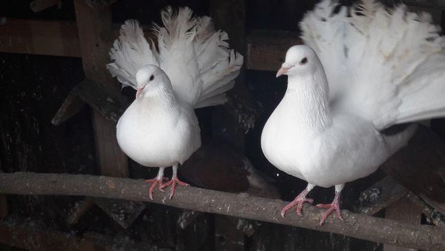 Gołębie młode z 2020r