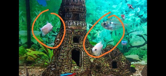 Rybki akwariowe przeźroczki