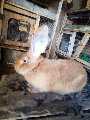 Кролі різен голд