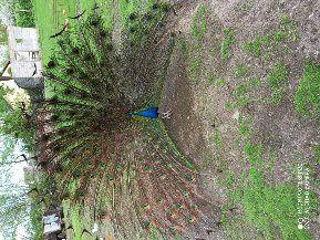 Pawie paw czarnoskrzydły